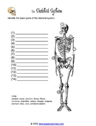 Skeletal System Diagram Worksheet